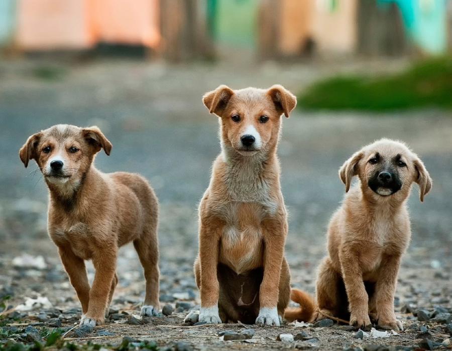Piauí: Cães vão receber coleiras repelentes contra o calazar
