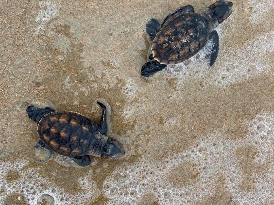 Vídeo mostra nascimento de mais de 70 tartarugas no litoral do Piauí
