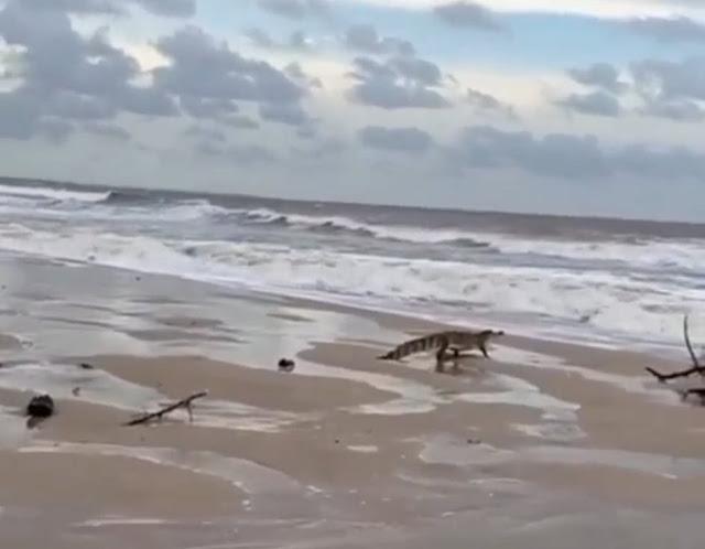 Jacaré 'invade' a praia da Pedra do Sal e assusta banhistas em Parnaíba