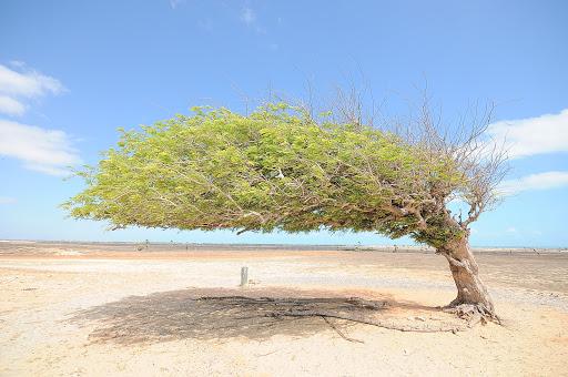 Árvore Penteada é vandalizada e tem raízes cortadas em Luís Correia