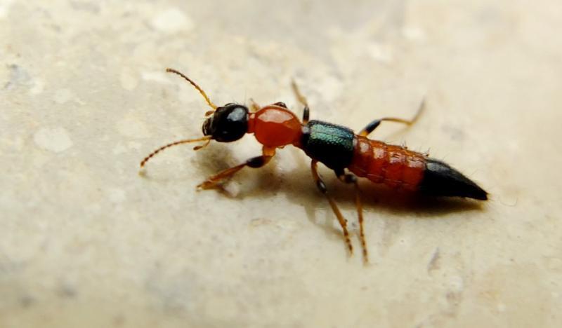 Potós assustam teresinenses com o risco de queimaduras; saiba como evitar o inseto