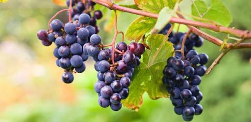 Experimento mostra que Teresina tem potencial para produção de uva