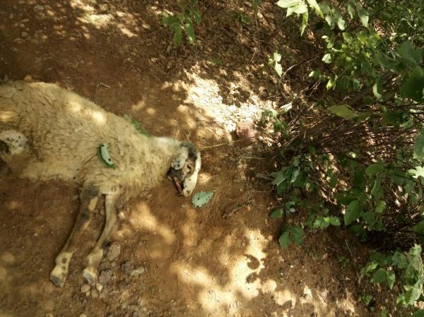 Jovem é suspeito de furtar mais de 100 caprinos no interior do Piauí