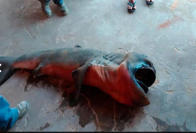 Tubarão raro é encontrado no Litoral do Piauí e alerta possível desequilíbrio ambiental