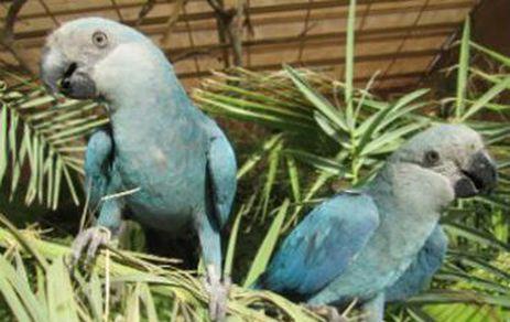 Ararinha-azul encontrada no PI, BA e PE está provavelmente extinta da natureza, indica estudo