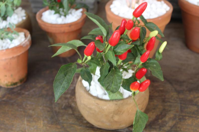 Plantas garantem boas energias para chegada do ano novo