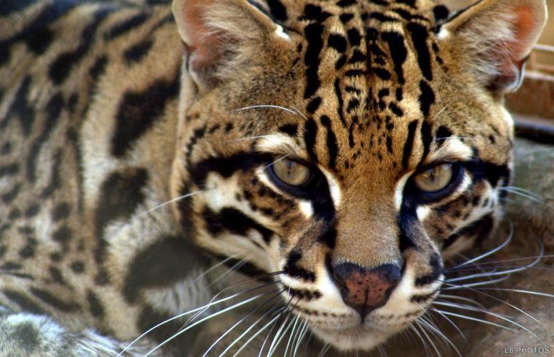 Zoobotânico nega 'fake news' de onça, mas confirma fuga de Jaguatiricas do Parque em Teresina