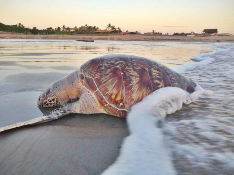 Tartaruga de mais de 10 quilos é encontrada em Luís Correia