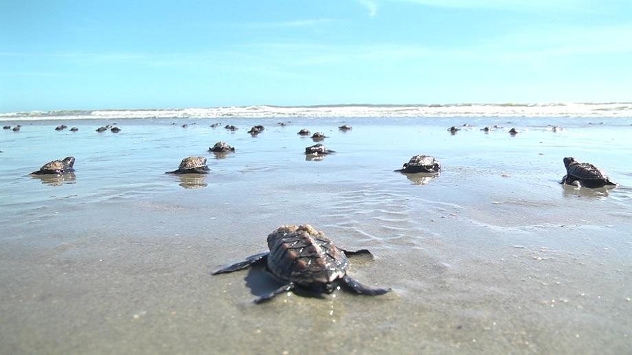 Instituto monitora e ajuda a preservar tartarugas no litoral do Piauí