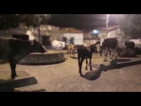 Internauta publica vídeo mostrando vacas e bois ocupando praça de Floriano