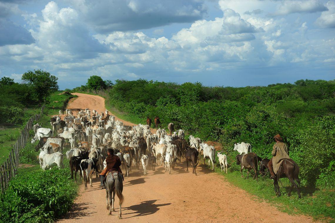 Cresce no Brasil o abate de bovinos e suínos