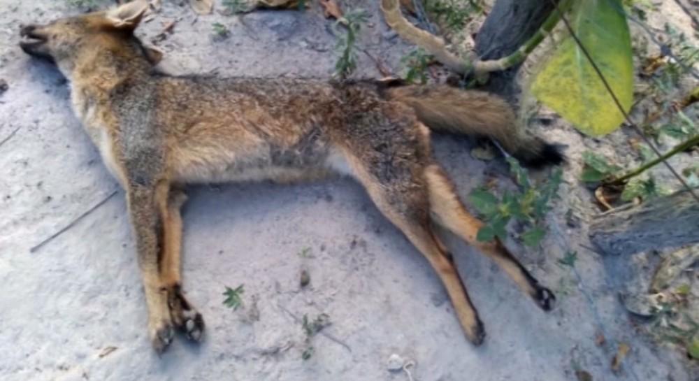 Morador é vítima de ataque de raposa em Caxias