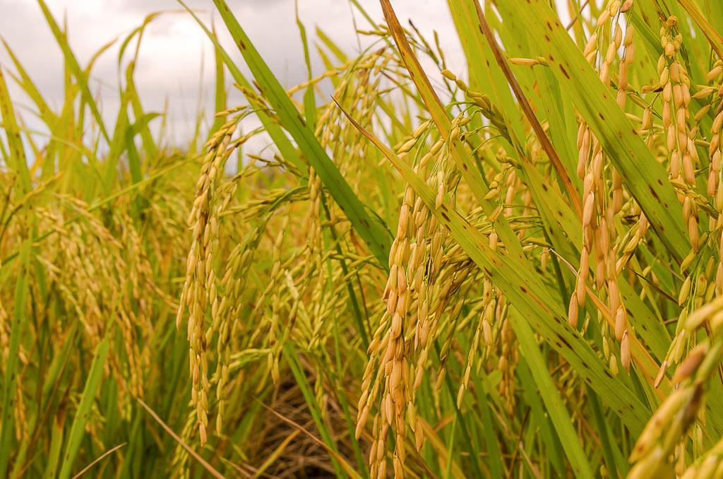 Cooperativa do Sul do País planeja investir em arroz orgânico no Piauí