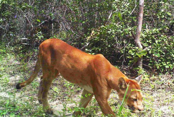 Pesquisa confirma cinco espécies de felinos na Caatinga do Piauí