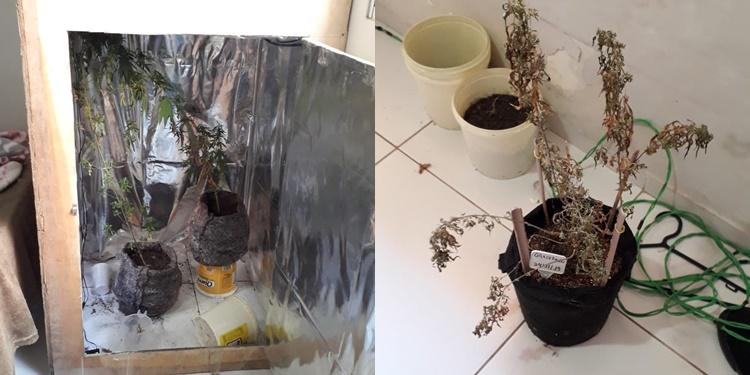 Homem é preso com plantação de maconha na zona Leste de Teresina