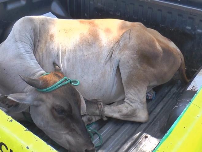Homem é preso por transportar vaca dentro de um carro de passeio no Piauí
