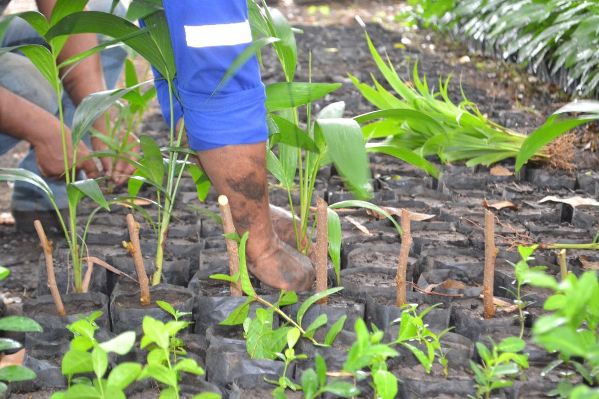 SEMAM distribuirá quase 100 mil mudas para população de Teresina